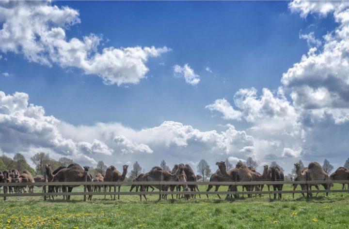Kamelenmelkerij, kamelen in de wei