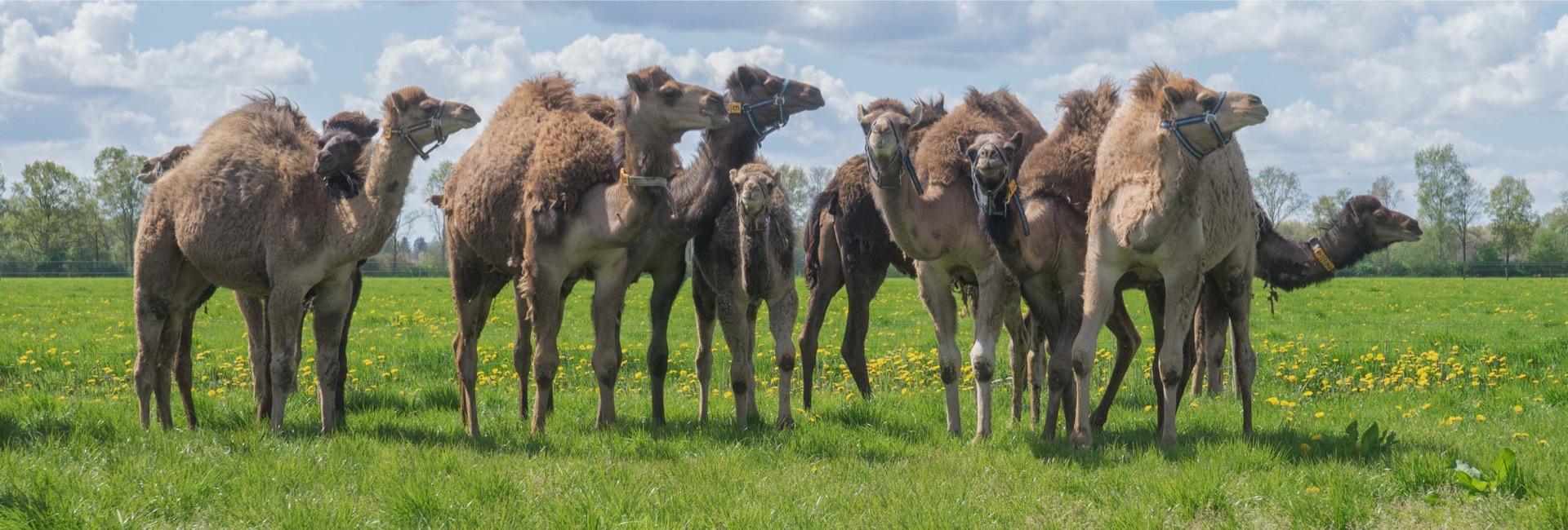 De Kamelenmelkerij