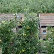 De Neust, appels